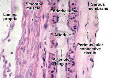 Mammal. Gallbladder. Transverse section. 500X