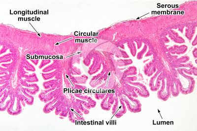 Mammal. Small intestine. Transverse section. 32X