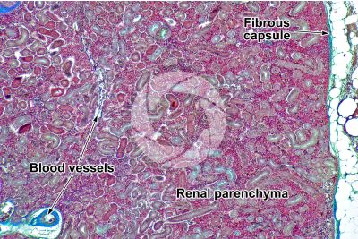 Cyprinus sp. Kidney. Transverse section. 64X