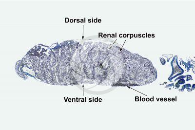 Rana sp. Frog. Kidney. Transverse section. 32X