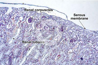 Rana sp. Frog. Kidney. Transverse section. 125X