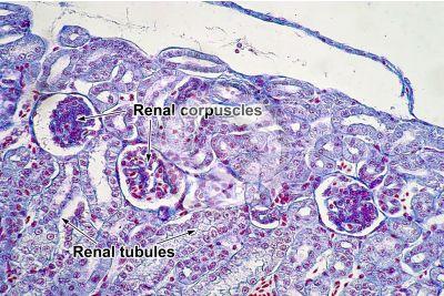 Rana sp. Frog. Kidney. Transverse section. 250X
