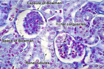 Rana sp. Frog. Kidney. Transverse section. 500X