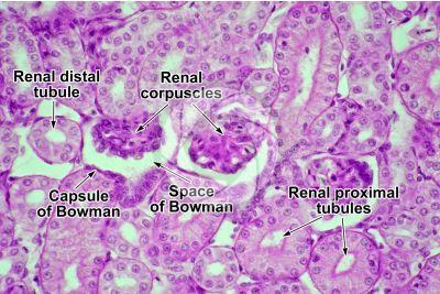 Testudines. Turtle. Kidney. Transverse section. 500X