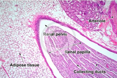 Rat. Kidney. Transverse section. 125X