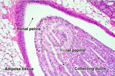 Rat. Kidney. Transverse section. 250X