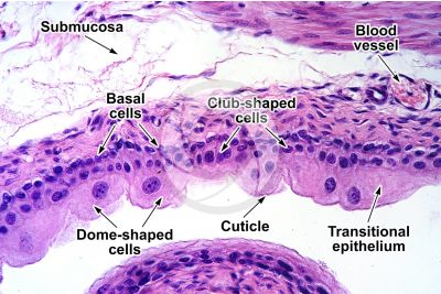 Rat. Urinary bladder. Transverse section. 250X