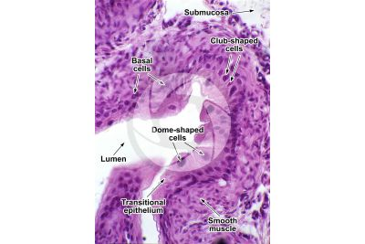 Rat. Ureter. Transverse section. 250X