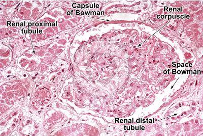 Man. Kidney. Transverse section. 250X