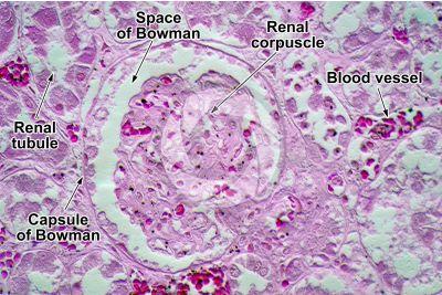 Man. Kidney. Transverse section. 500X