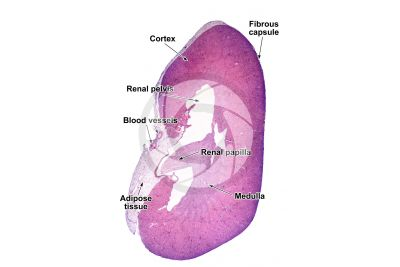 Mammal. Kidney. Transverse section. 10X