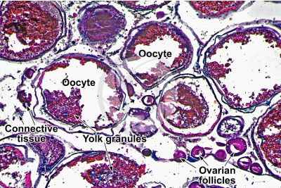 Cyprinus sp. Ovary. Transverse section. 64X
