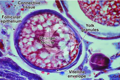 Cyprinus sp. Ovary. Transverse section. 250X