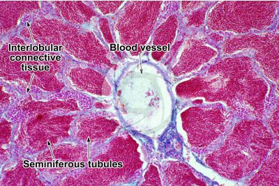 Cyprinus sp. Testicle. Transverse section. 250X