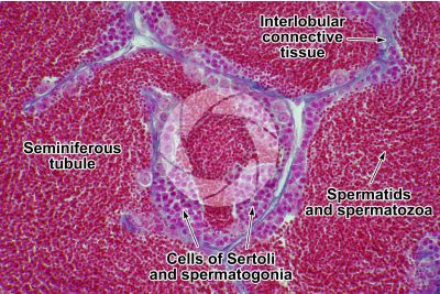 Cyprinus sp. Testicle. Transverse section. 500X