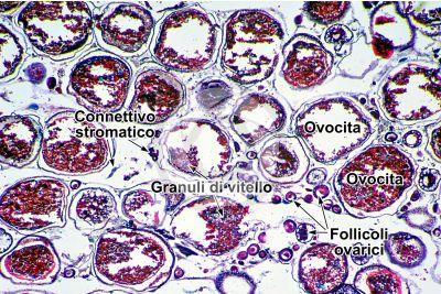 Cyprinus sp. Ovario. Sezione Trasversale. 32X