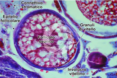 Cyprinus sp. Ovario. Sezione Trasversale. 250X