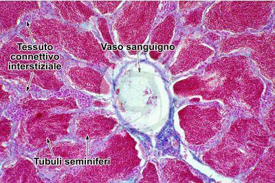 Cyprinus sp. Testicolo. Sezione Trasversale. 250X