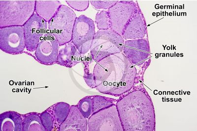 Rana sp. Frog. Immature ovary. Transverse section. 125X