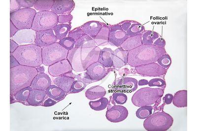 Rana sp. Rana. Ovario immaturo. Sezione trasversale. 64X