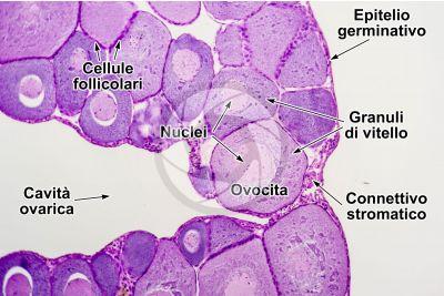 Rana sp. Rana. Ovario immaturo. Sezione trasversale. 125X