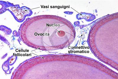 Lacerta sp. Lucertola. Ovario. Sezione trasversale. 125X