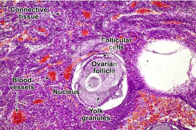 Gallus gallus domesticus. Chicken. Ovary. Transverse section. 250X
