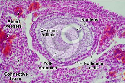 Gallus gallus domesticus. Chicken. Ovary. Transverse section. 500X