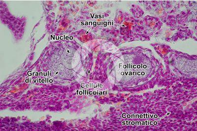 Gallus gallus domesticus. Pollo. Ovario. Sezione trasversale. 500X