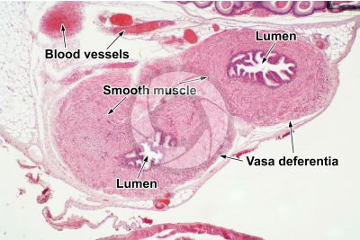 Cavia sp. Guinea pig. Testicle. Vas deferens. Transverse section. 32X