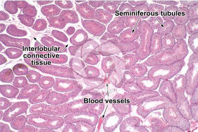 Cavia sp. Guinea pig. Testicle. Seminiferous tubule. Transverse section. 32X
