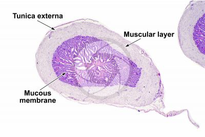Cavia sp. Guinea pig. Testicle. Seminal vesicle. Transverse section. 32X
