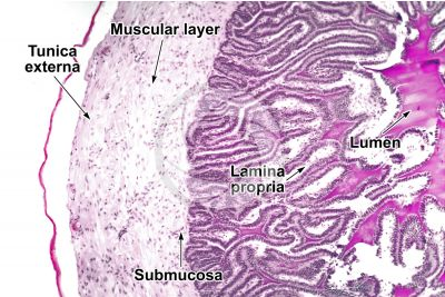 Cavia sp. Guinea pig. Testicle. Seminal vesicle. Transverse section. 125X