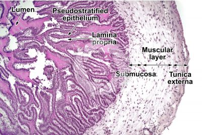 Cavia sp. Guinea pig. Testicle. Seminal vesicle. Transverse section. 125X