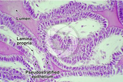 Cavia sp. Guinea pig. Testicle. Seminal vesicle. Transverse section. 500X