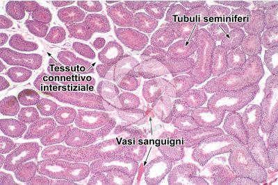 Cavia sp. Cavia. Testicolo. Tubulo seminifero. Sezione trasversale. 32X