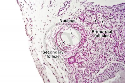 Rabbit. Ovary. Transverse section. 100X