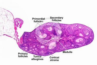 Rabbit. Ovary. Transverse section. 32X