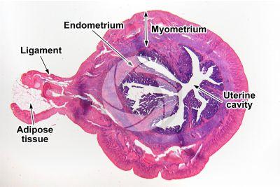 Rabbit. Uterus. Transverse section. 10X
