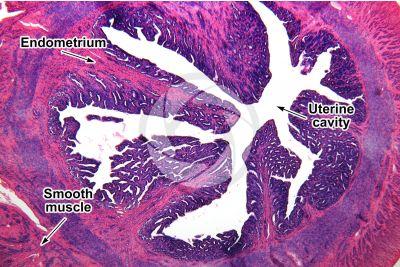 Rabbit. Uterus. Transverse section. 32X