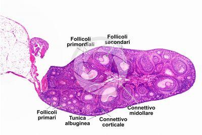 Coniglio. Ovario. Sezione trasversale. 32X
