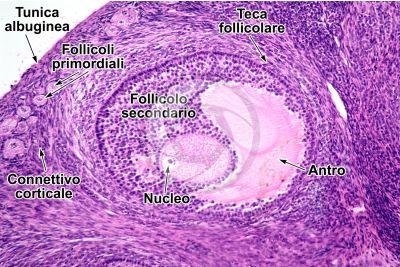 Coniglio. Ovario. Sezione trasversale. 125X