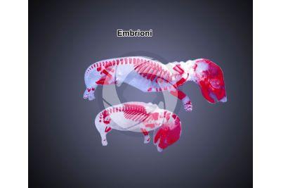 Coniglio. Embrione. 1X