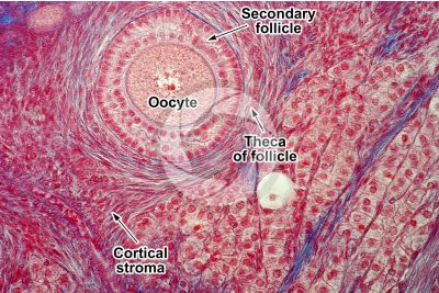 Rat. Ovary. Transverse section. 500X