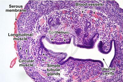 Rat. Uterus. Transverse section. 64X