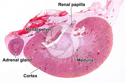 Rat. Adrenal gland. Transverse section. 1X