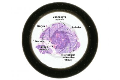 Man. Thymus. Transverse section. 2X
