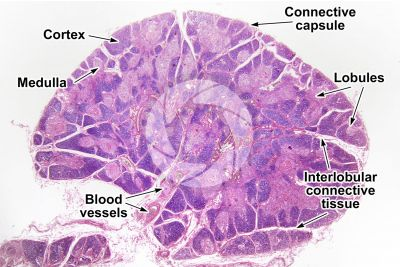 Man. Thymus. Transverse section. 7X
