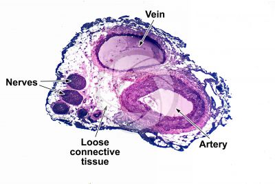 Mammal. Artery and vein. Transverse section. 32X