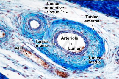 Mammal. Arteriole. Transverse section. 125X